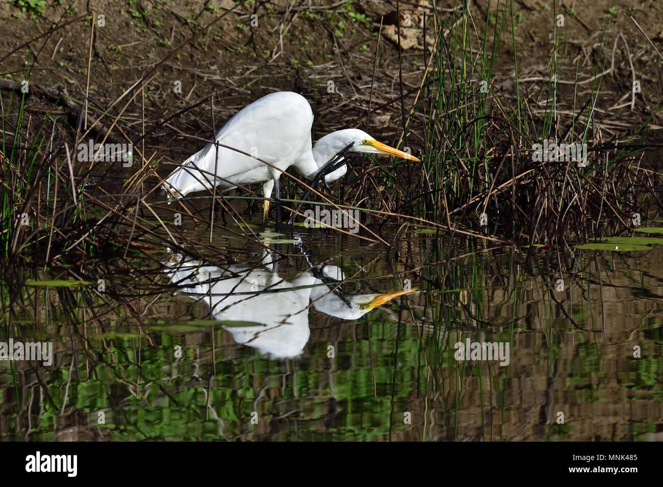 An Australian, Queensland nonbreeding Great Egret, Ardea alba looking for food scratching its Head - Stock Image