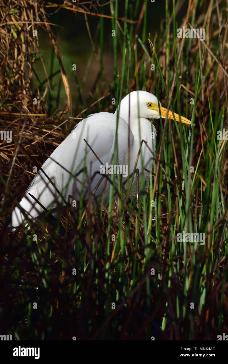 An Australian, Queensland nonbreeding Intermediate Egret, Ardea intermedia standing in thick grass - Stock Image