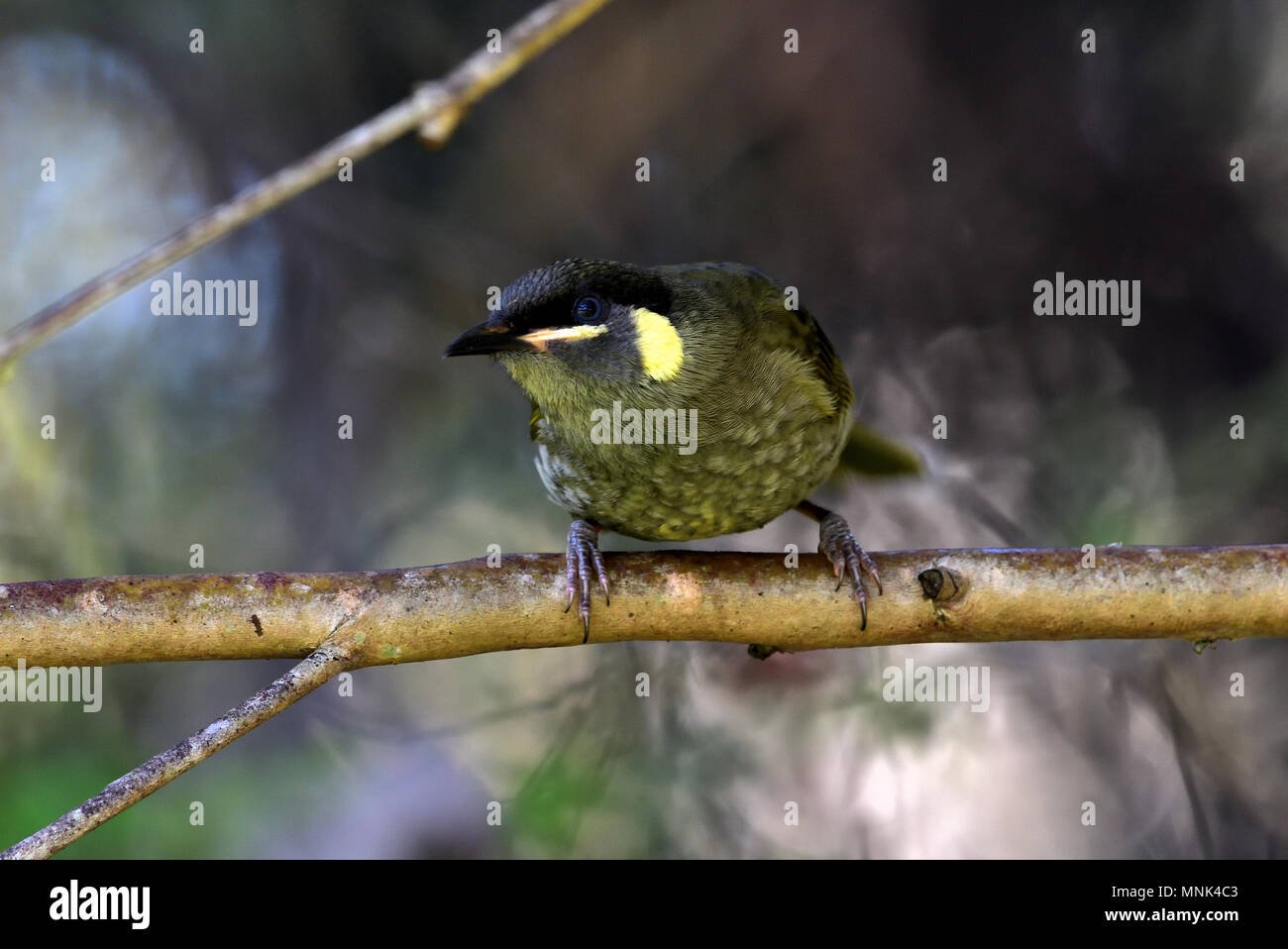 An Australian, Queensland Lewin's Honeyeater, Meliphaga lewinii resting on a Tree branch - Stock Image