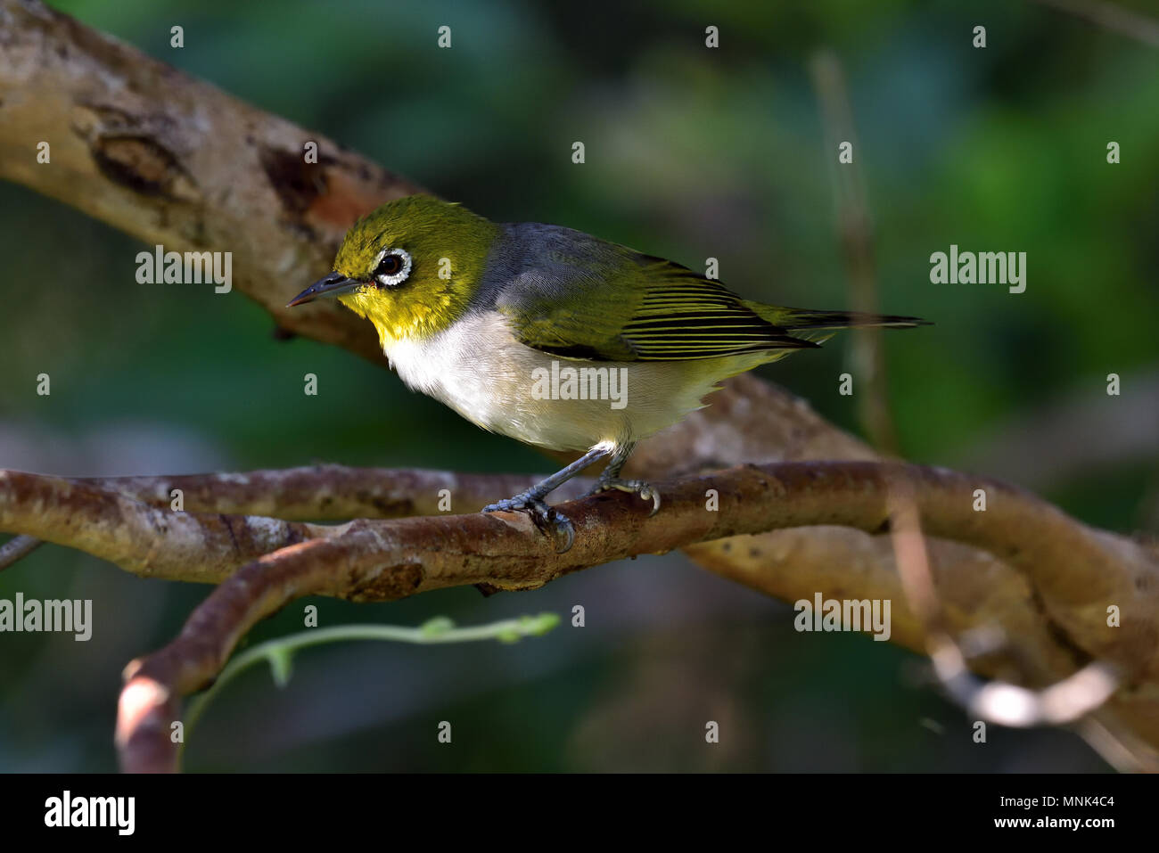 An Australian, Queensland Silvereye, Zosterops lateralis resting on a Tree branch - Stock Image