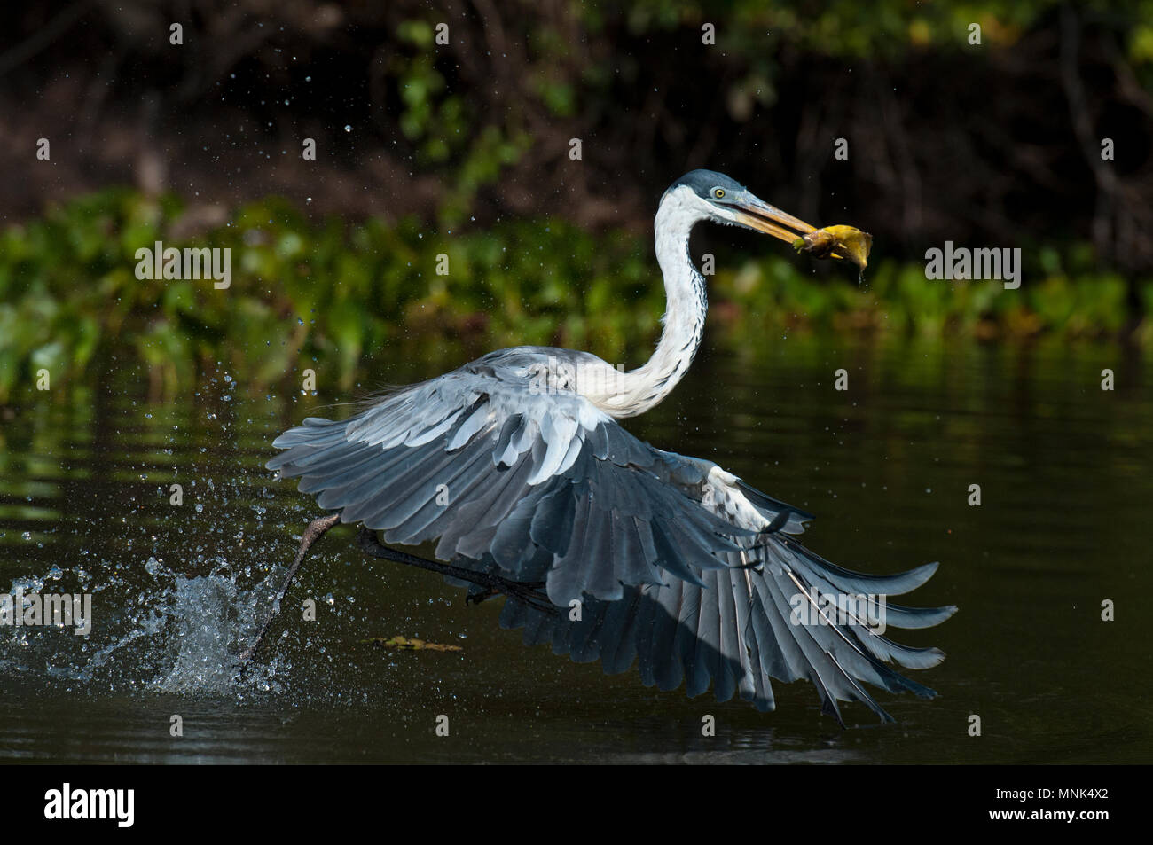 Cocoi (white-necked)  heron (Ardea cocoi) catching a fish in the Pantanal in southern Brazil - Stock Image