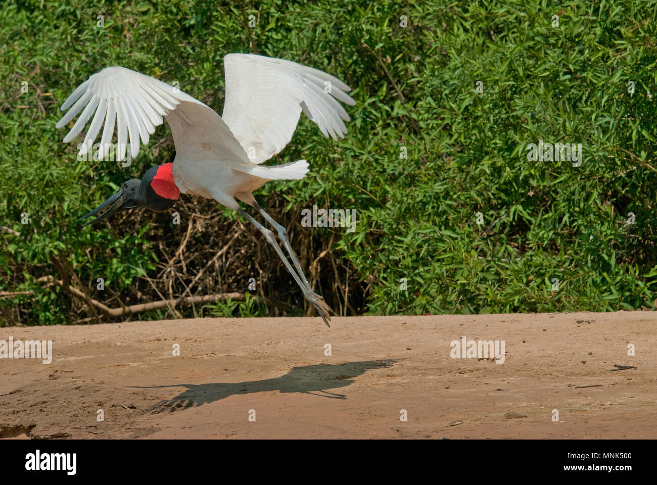Jabiru stork (Jabiru mycteria) taking off in the Pantanal in southern Brazil - Stock Image