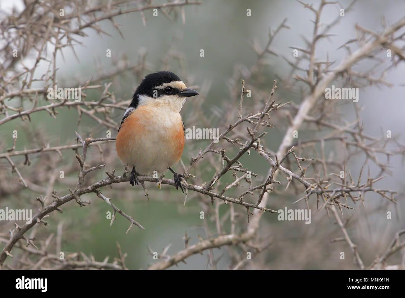 Masked Shrike - Stock Image