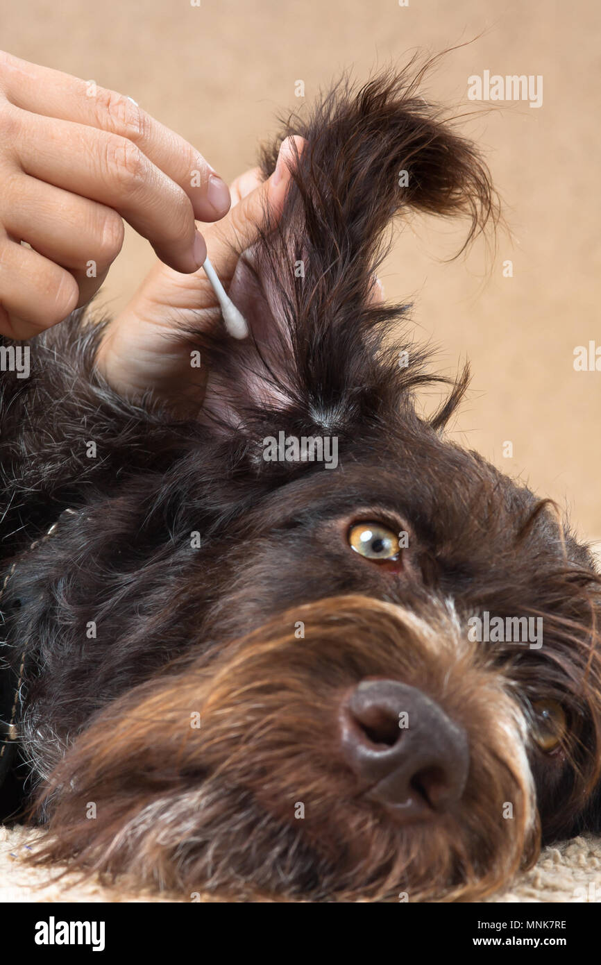hand cleaning the ear of dog with cotton swab - Stock Image