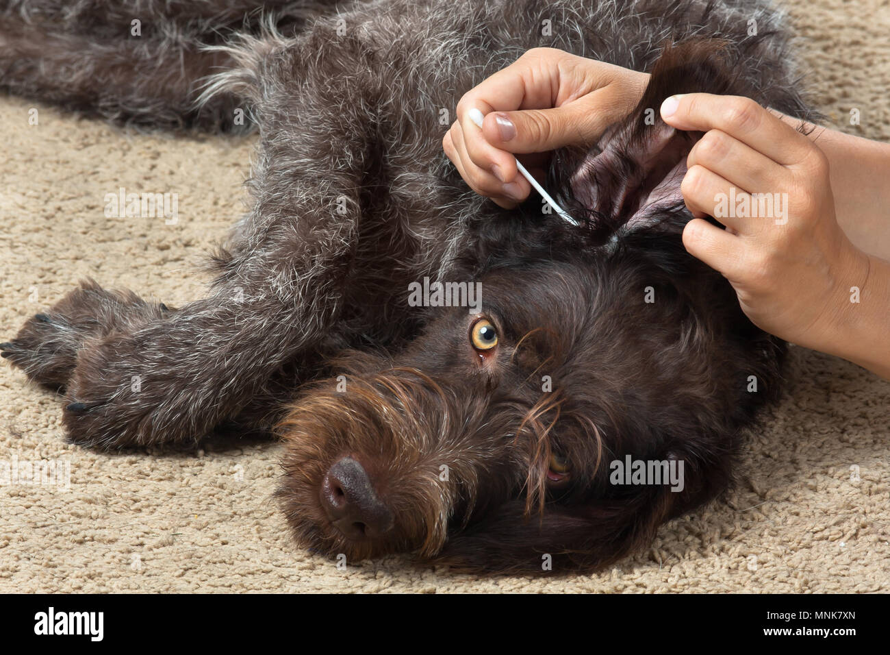 hands cleaning the ear of dog with cotton swab - Stock Image