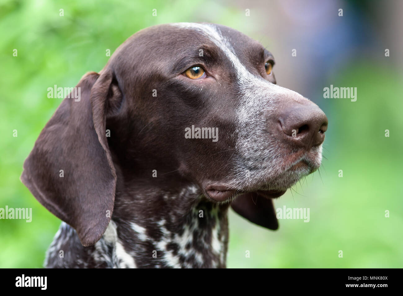 portrait of german shorthaired pointer on green blurred background - Stock Image