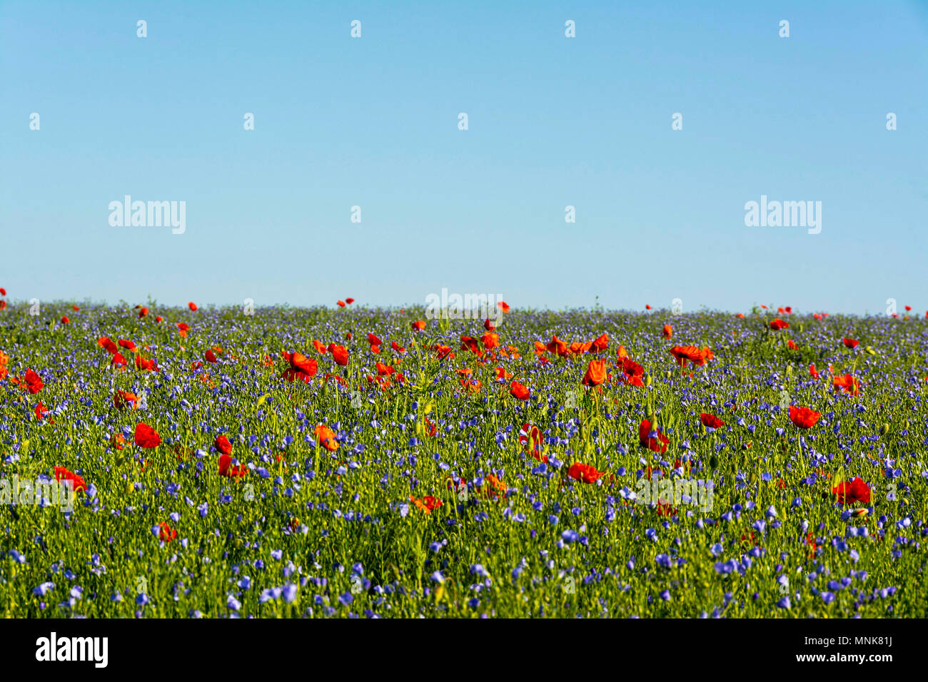Poppies and flax field (Linum usitatissimum) in flower. Puy de Dome. Auvergne. France - Stock Image