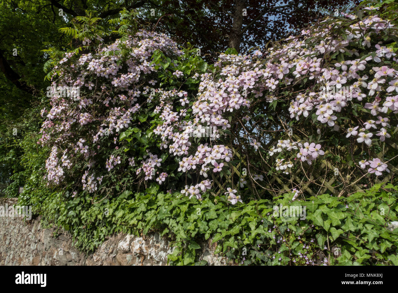 Clematis Montans Rubens in full flower overhanging a stone garden wall - Stock Image
