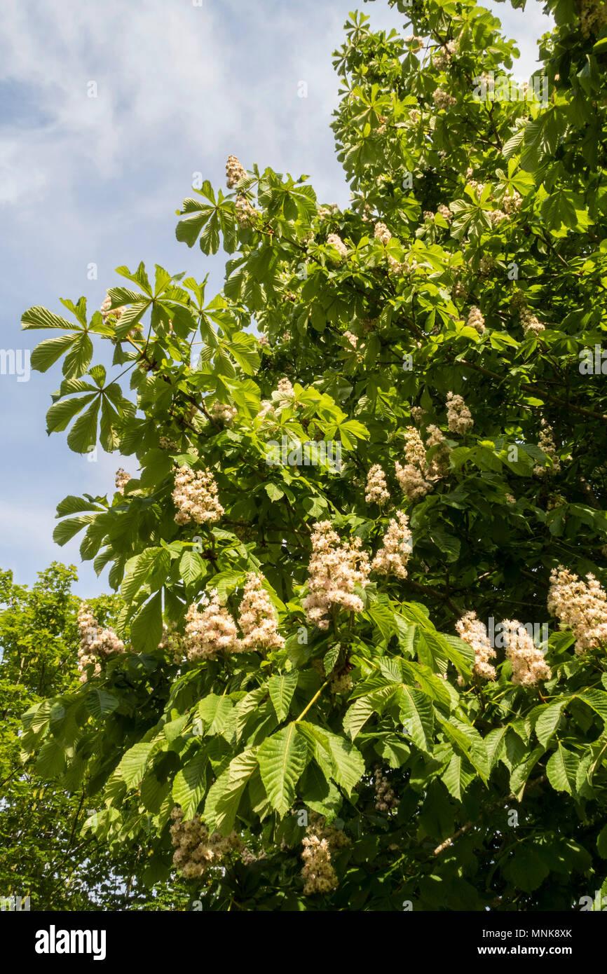European horse chestnut tree in blooom blossom flower, Aesculus hippocastanum, Inflorescence - Stock Image