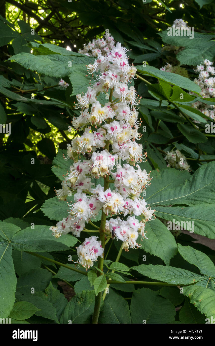 Tall flowers on an Indian Horse Chestnut tree, The blooms are sometimes known as candles. - Stock Image