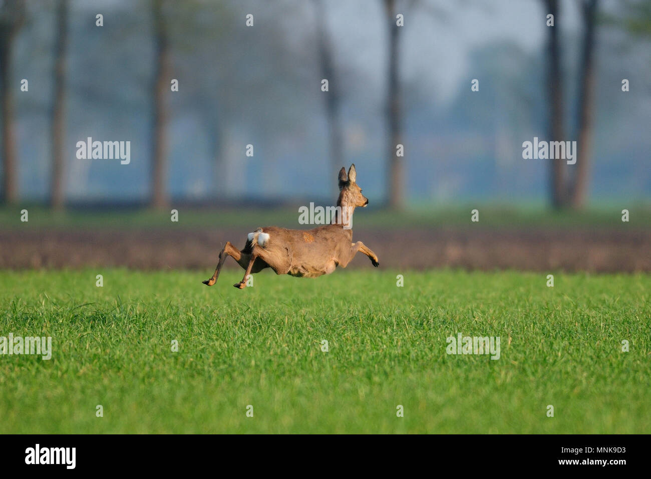 Roe deer flight over the field, spring, (capreolus capreolus) Stock Photo
