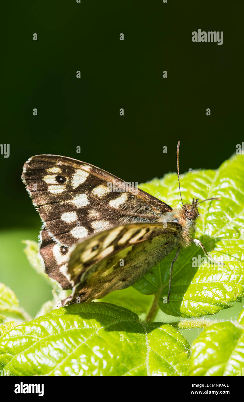 Speckled Wood (Pararge aegeria) butterfly resting on a green leaf in late Spring in Southern England, UK. Portrait with copy space. - Stock Image