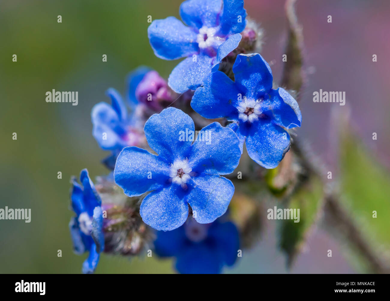 Small Blue Flowers From Green Alkanet Plant Pentaglottis