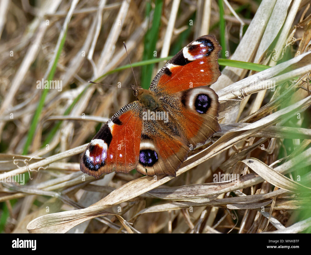 Peacock Butterfly, Inachis io, Leopidoptera - Stock Image