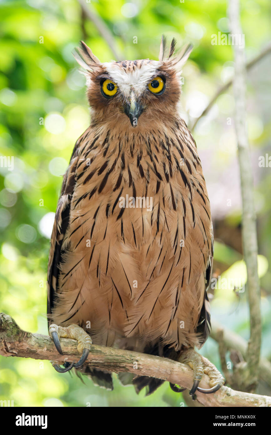 owl on a branch saw whet owl owl in the woods. - Stock Image