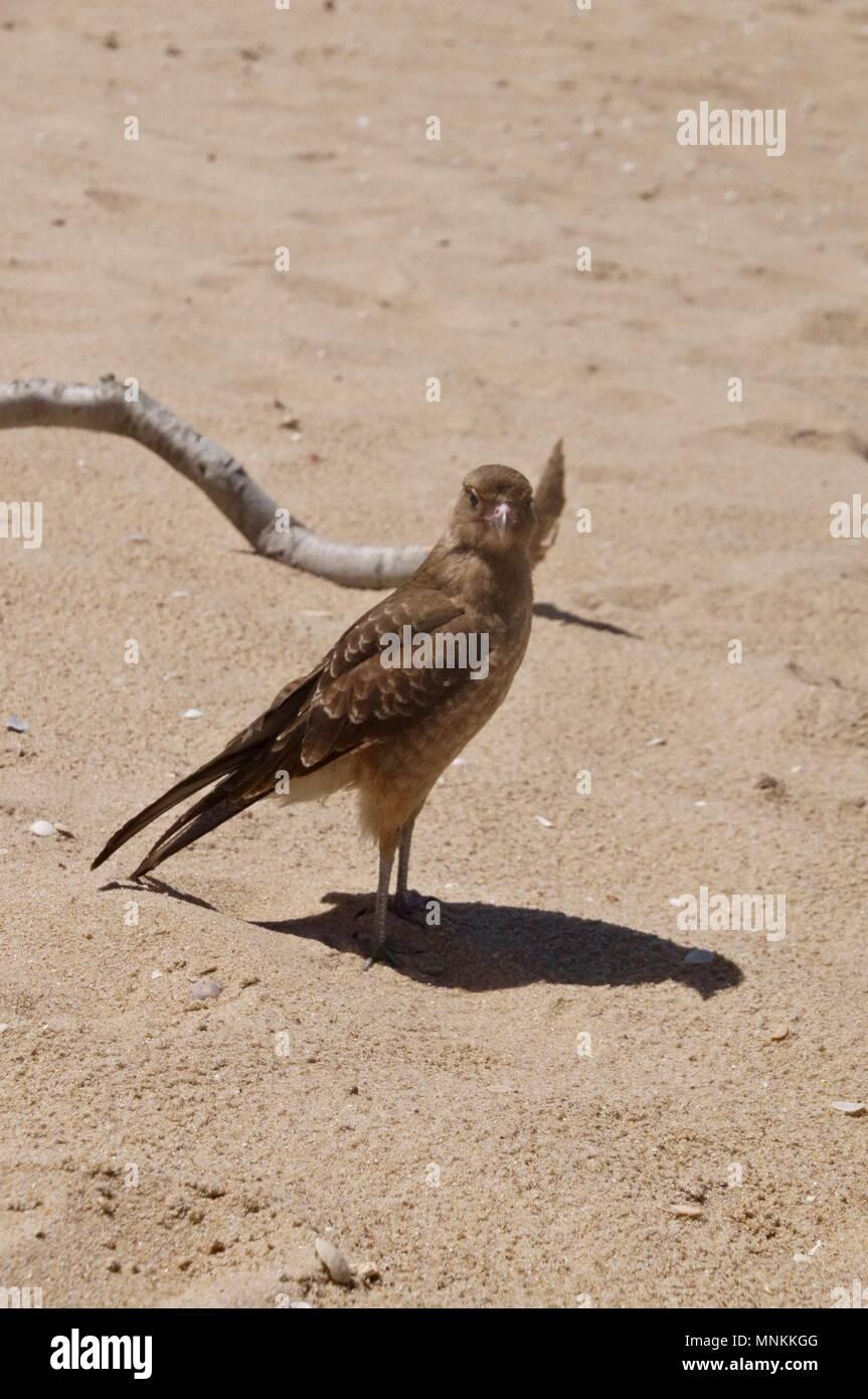 Hawk on the beach in Uruguay - Stock Image