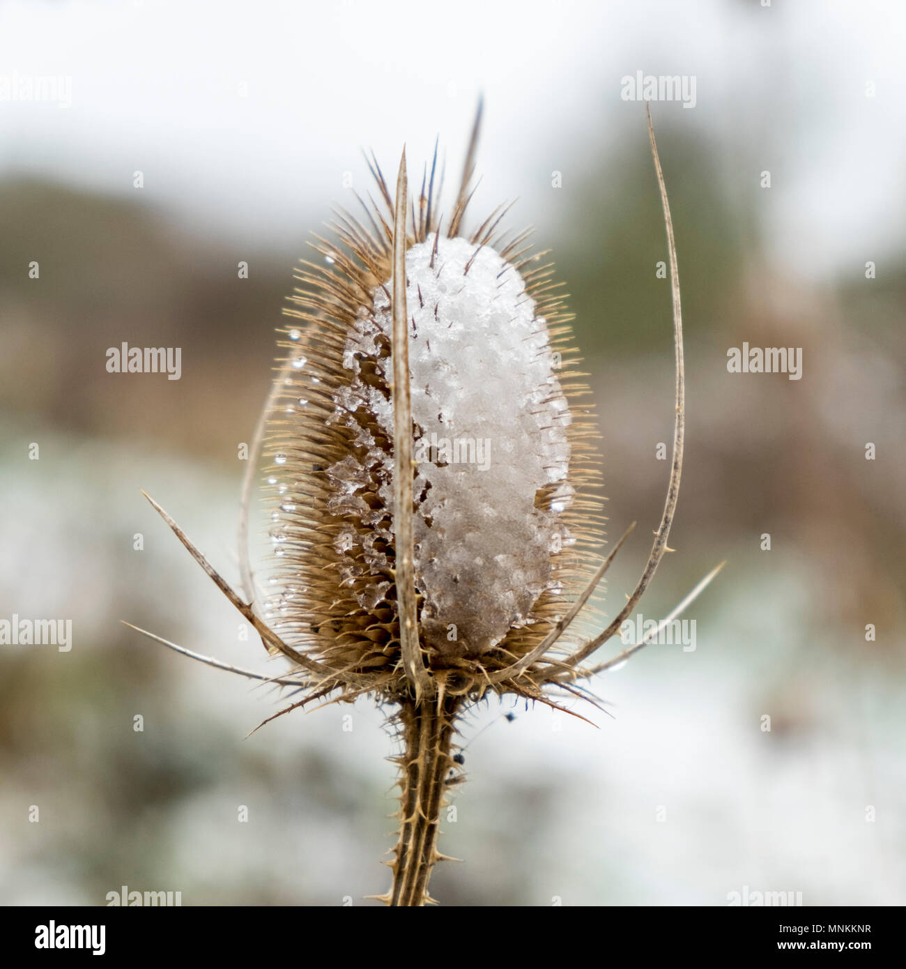 Dipsacus fullonum, common teasel with snow, England, UK - Stock Image