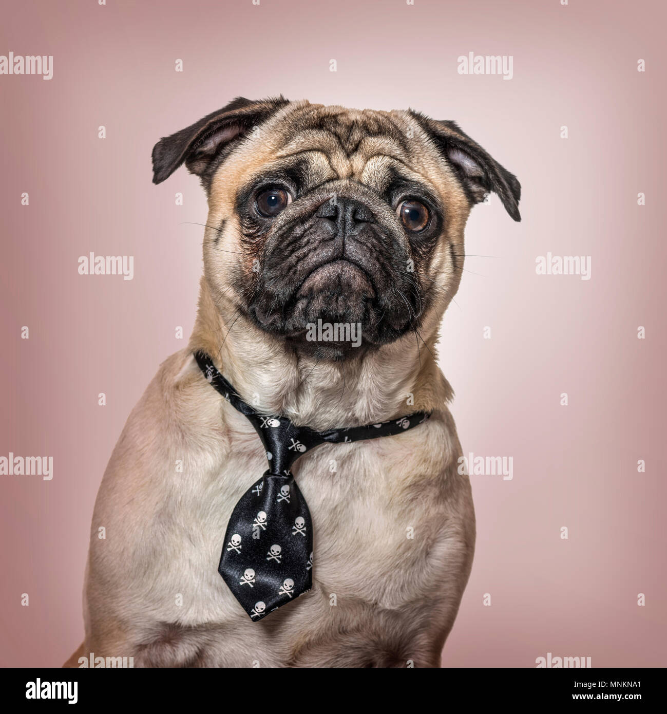 Pug wearing tie sitting against brown background - Stock Image
