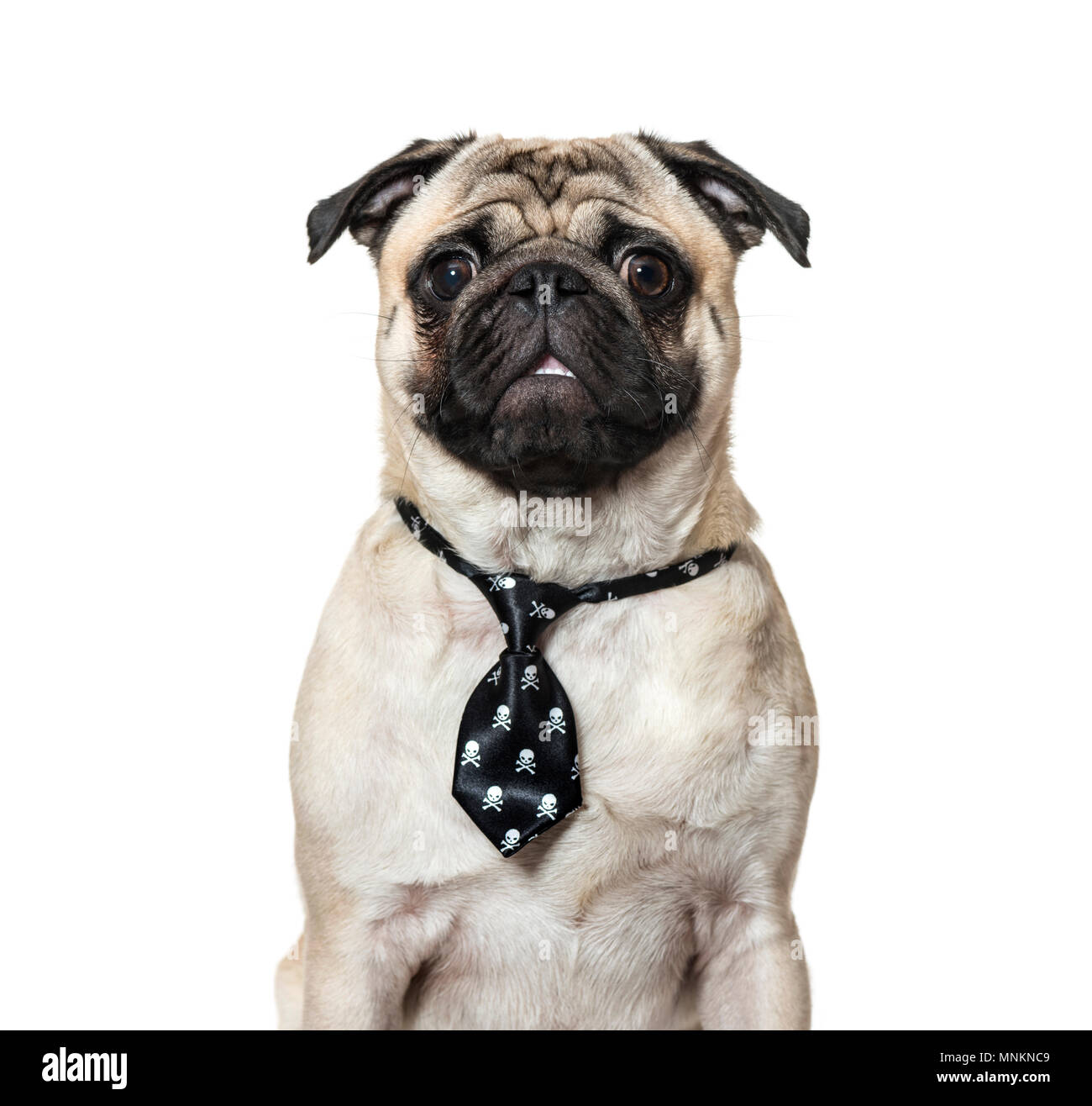 Pug wearing tie against white background - Stock Image