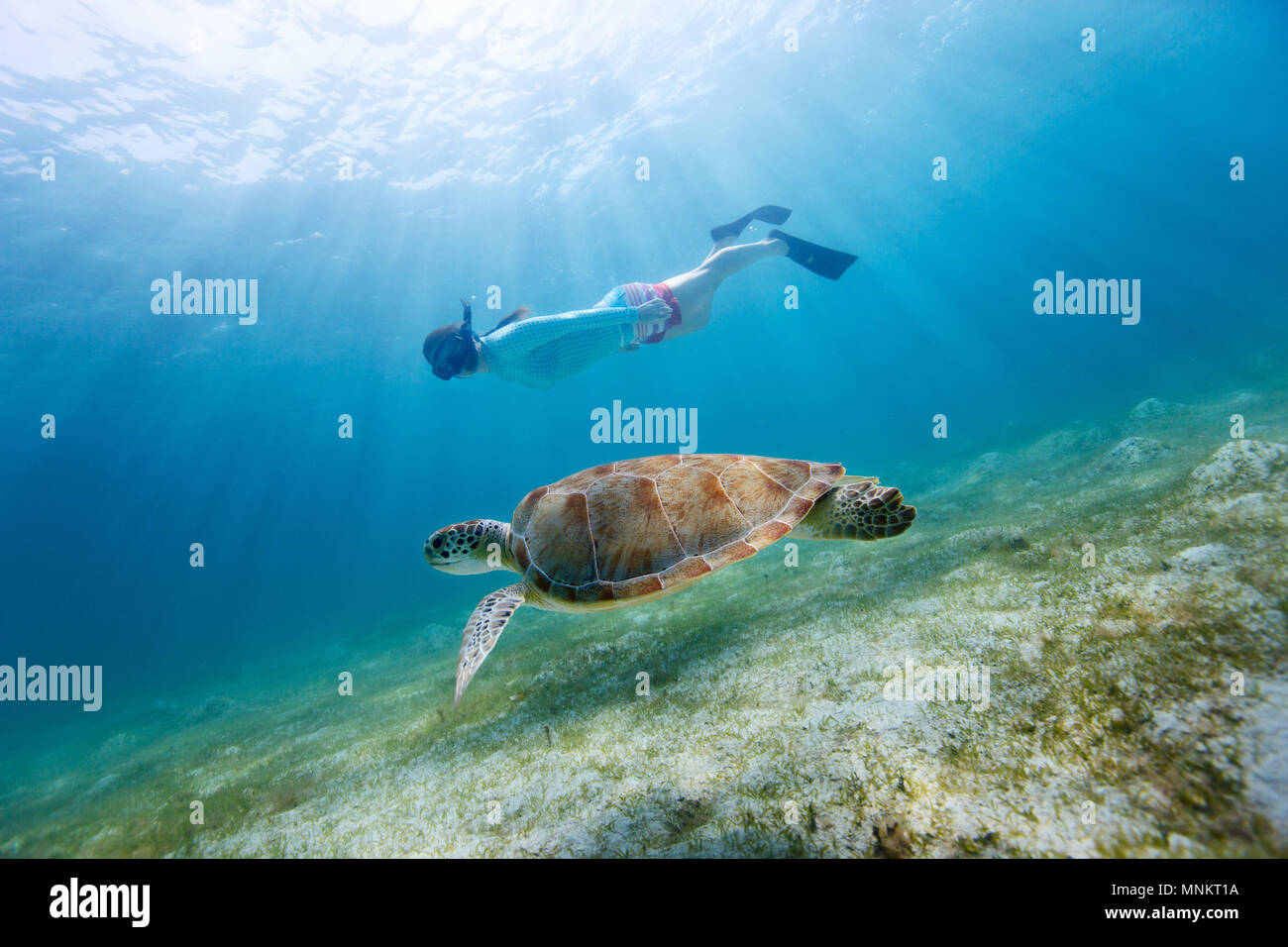 Underwater photo of young woman snorkeling and swimming with Hawksbill sea turtle Stock Photo