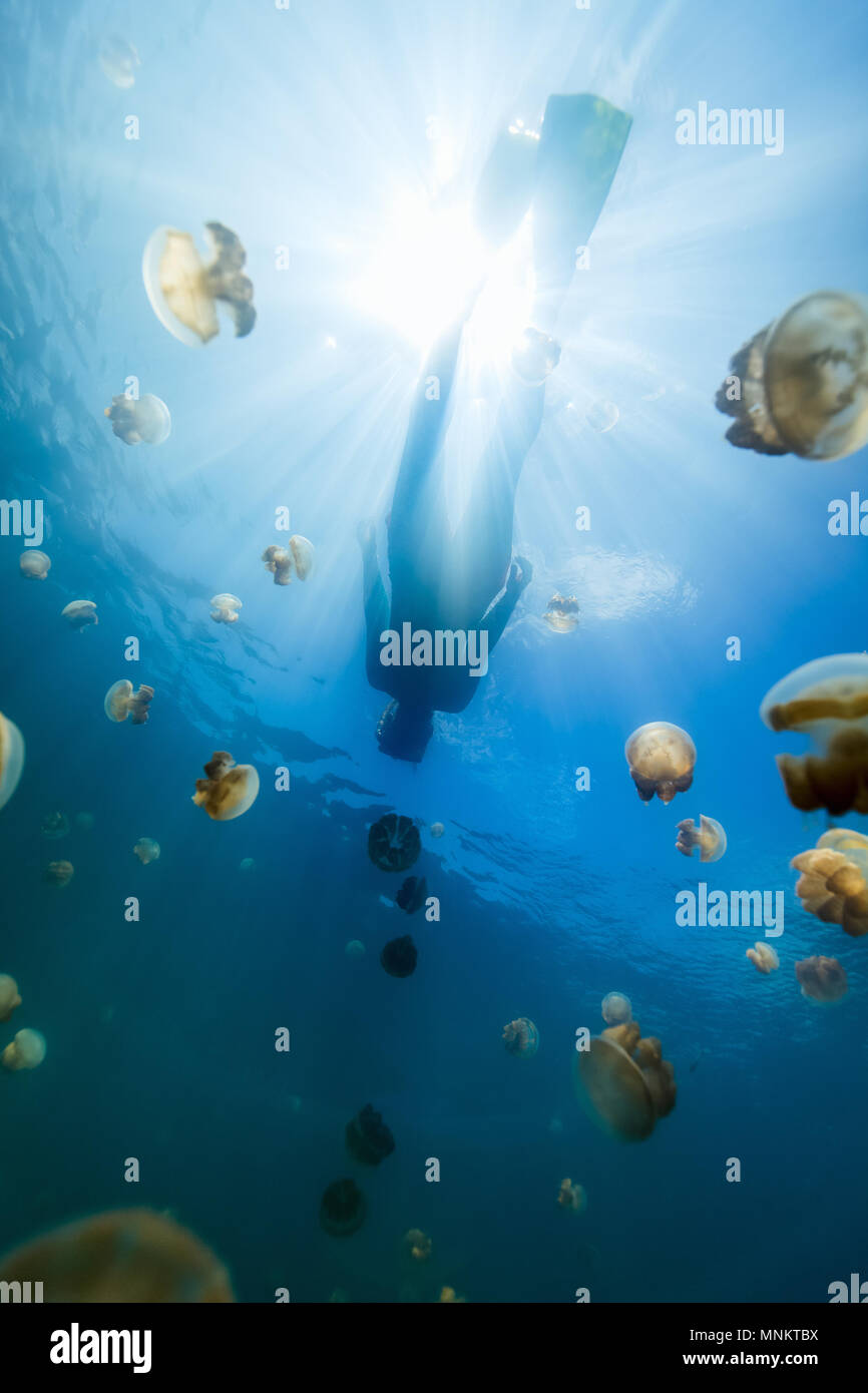 Underwater photo of tourist snorkeling with endemic golden jellyfish in lake at Palau. - Stock Image