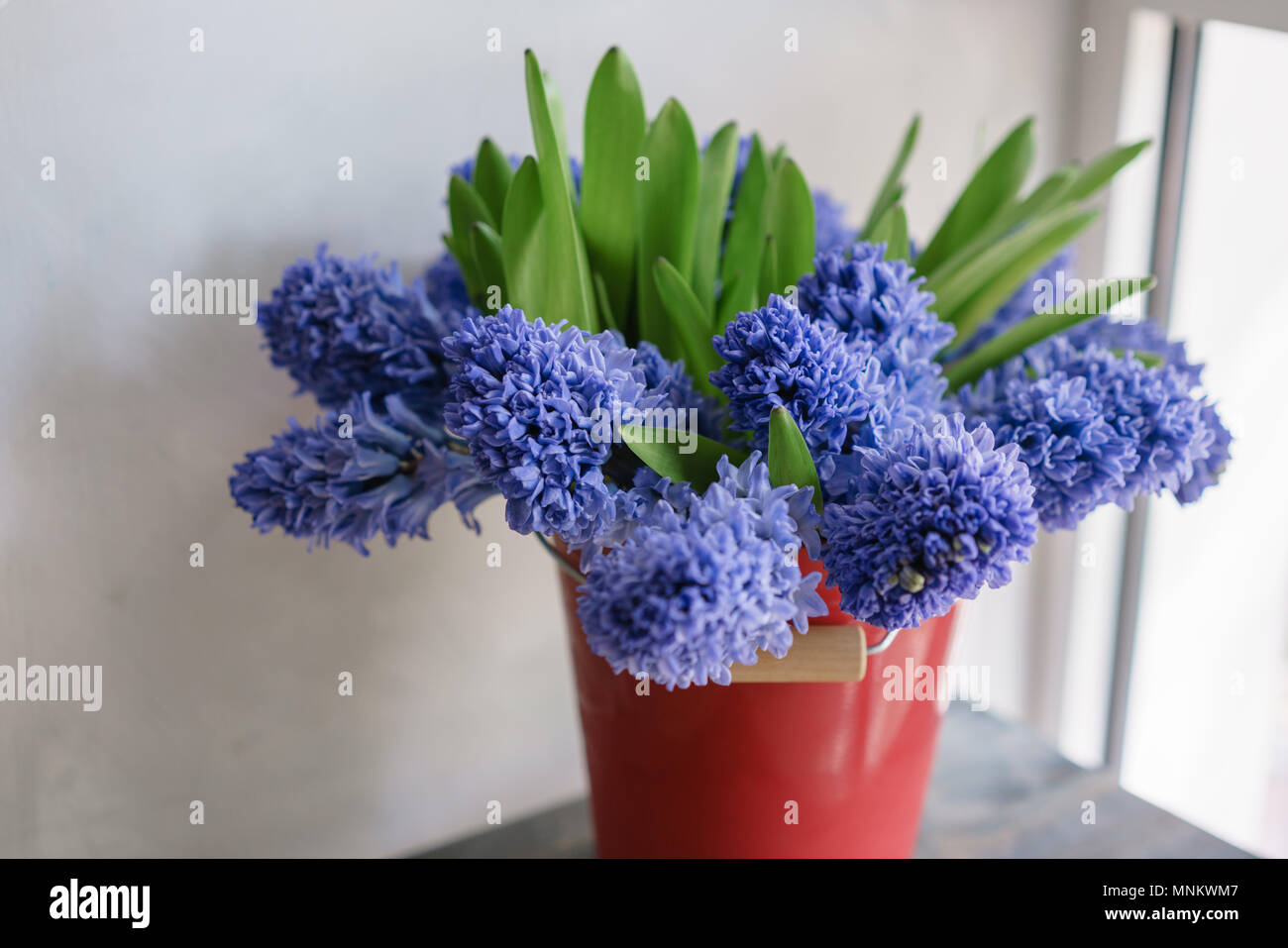Bouquet Of Beautiful Blue Hyacinths Close Up Spring Flowers In Red Vase Bulbous Plant Floral Wallpaper