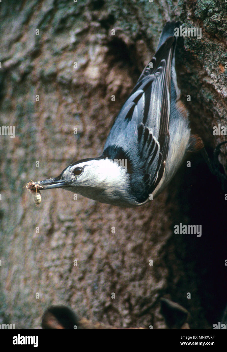 A Nuthatch (family of Passeriformes) feeding on a tree in Taunton, Massachusetts, USA - Stock Image