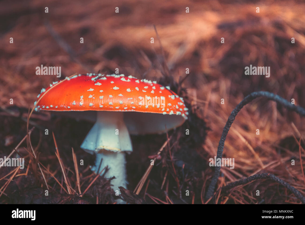 Wild Mushrooms in the forest in autumn - Stock Image