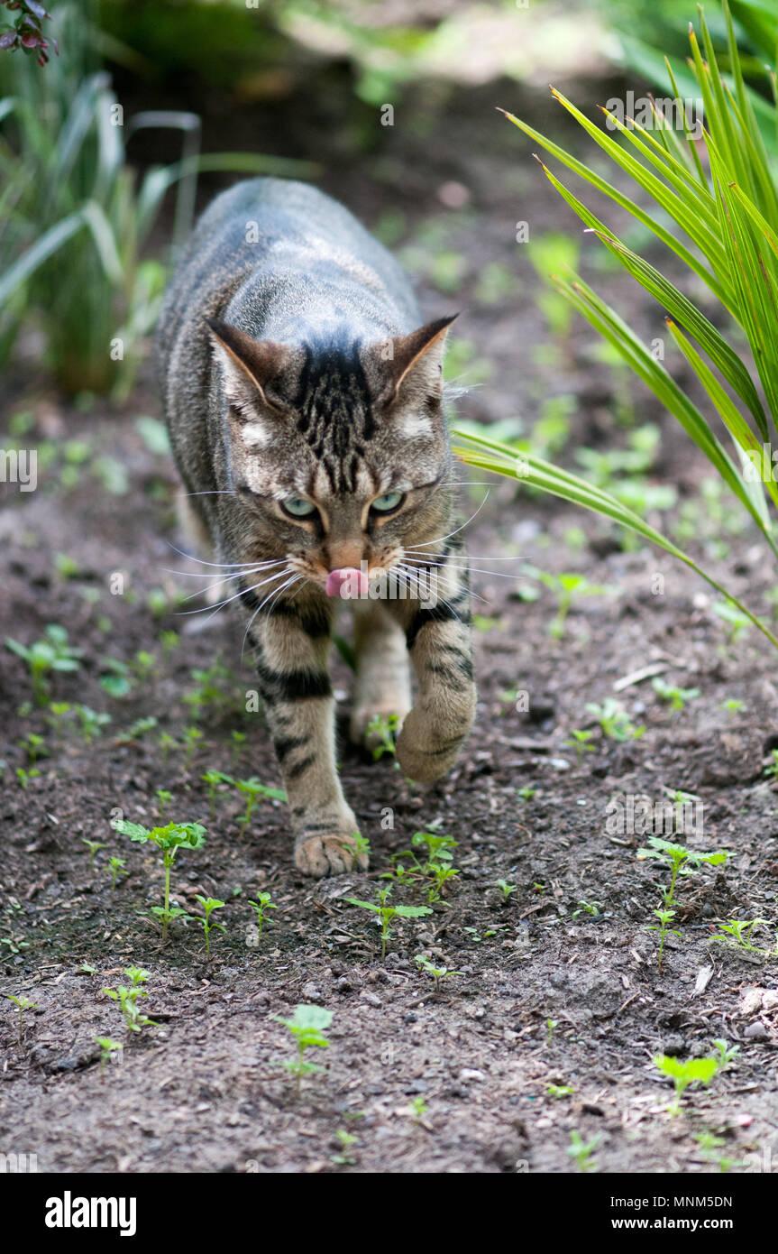 Bengal Cat licking nose - Stock Image