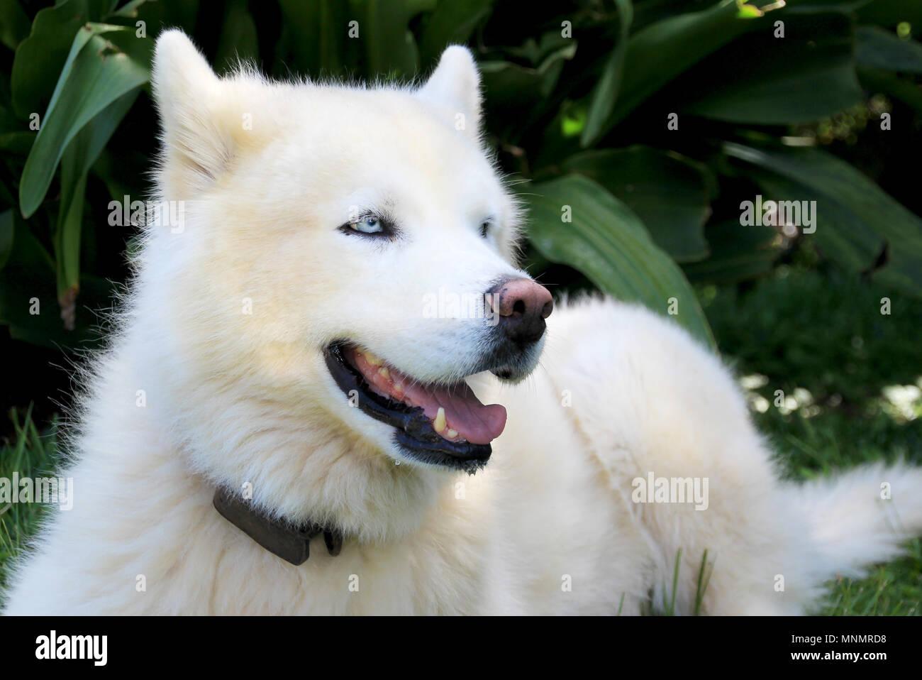 dog siberian husky adult white stock photos amp dog siberian