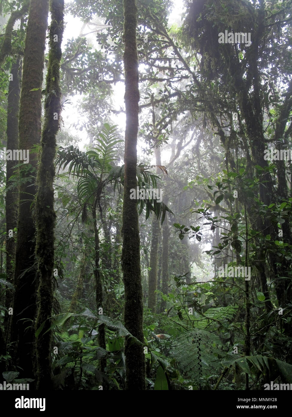 Cloud forest of Reserva Biologica Bosque Nuboso Monteverde, Costa Rica - Stock Image