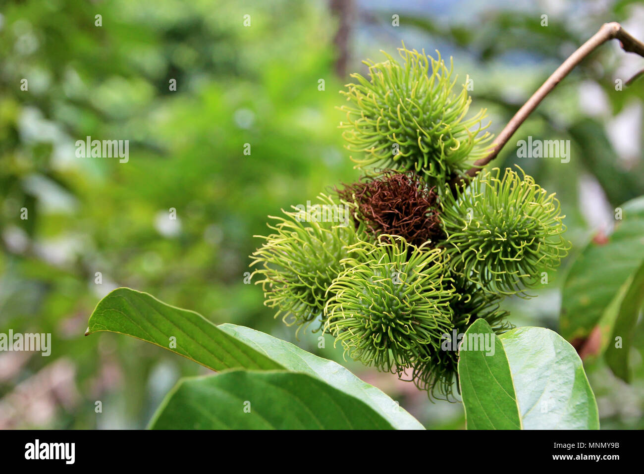 Rambutan, Nephelium Lappaceum, the lychee like fruit with long hooked spines, Costa Rica - Stock Image