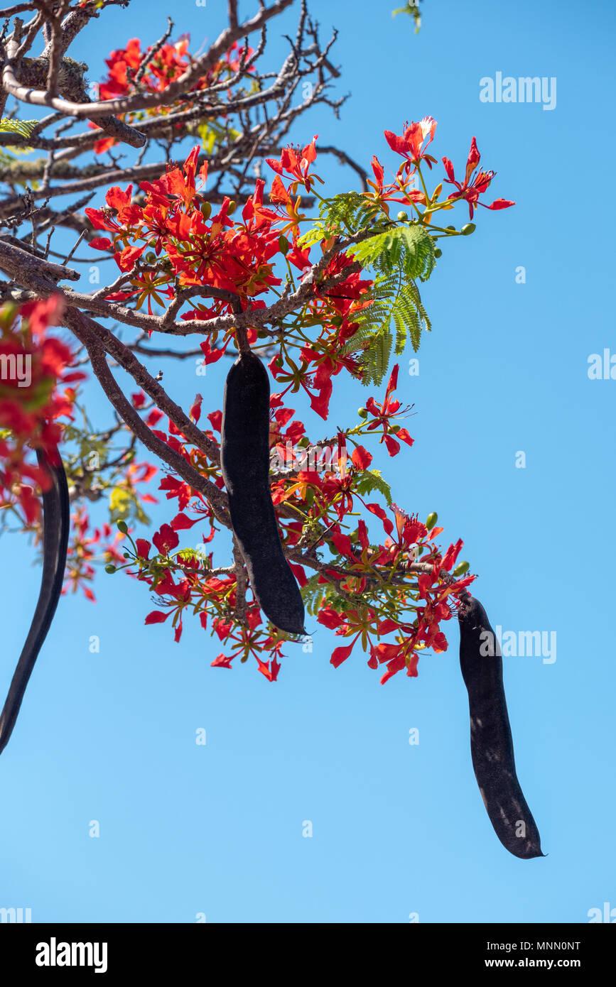 Flamboyant acacia, also known as Flame tree, in bloom in Puerto Ayora, Santa Cruz Island, Galapagos Islands, Ecuador. - Stock Image