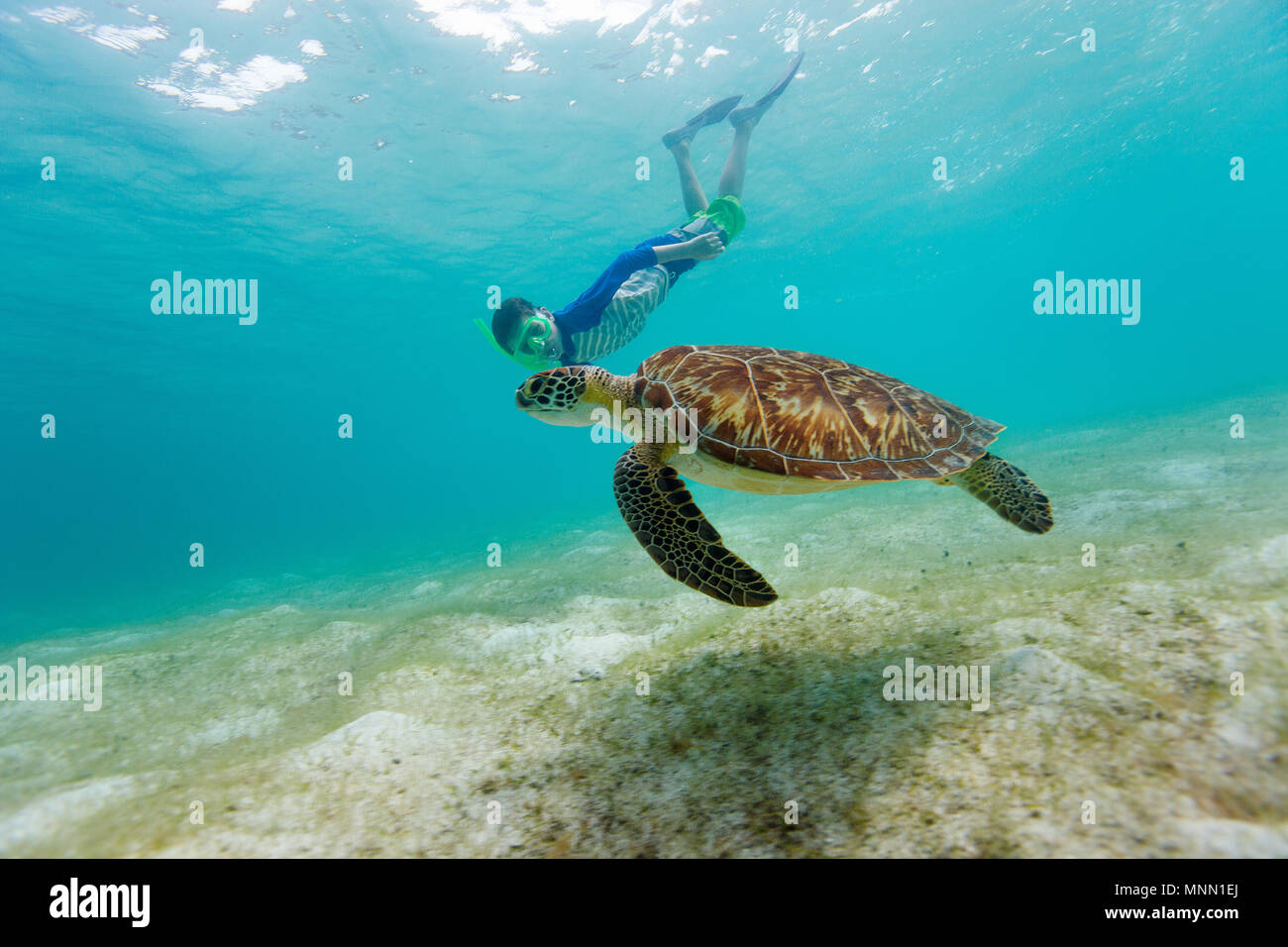 Underwater photo of boy snorkeling and swimming with Hawksbill sea turtle - Stock Image