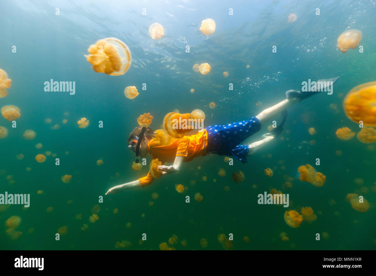 Underwater photo of child diving with endemic stingless jellyfish in lake at Palau. - Stock Image
