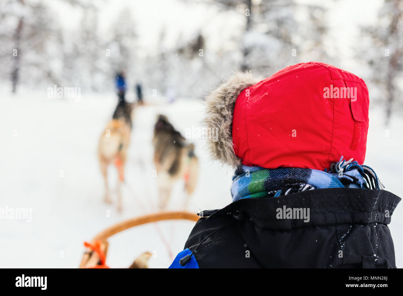 Husky dogs are pulling sledge with a kid at winter forest in Lapland Finland - Stock Image