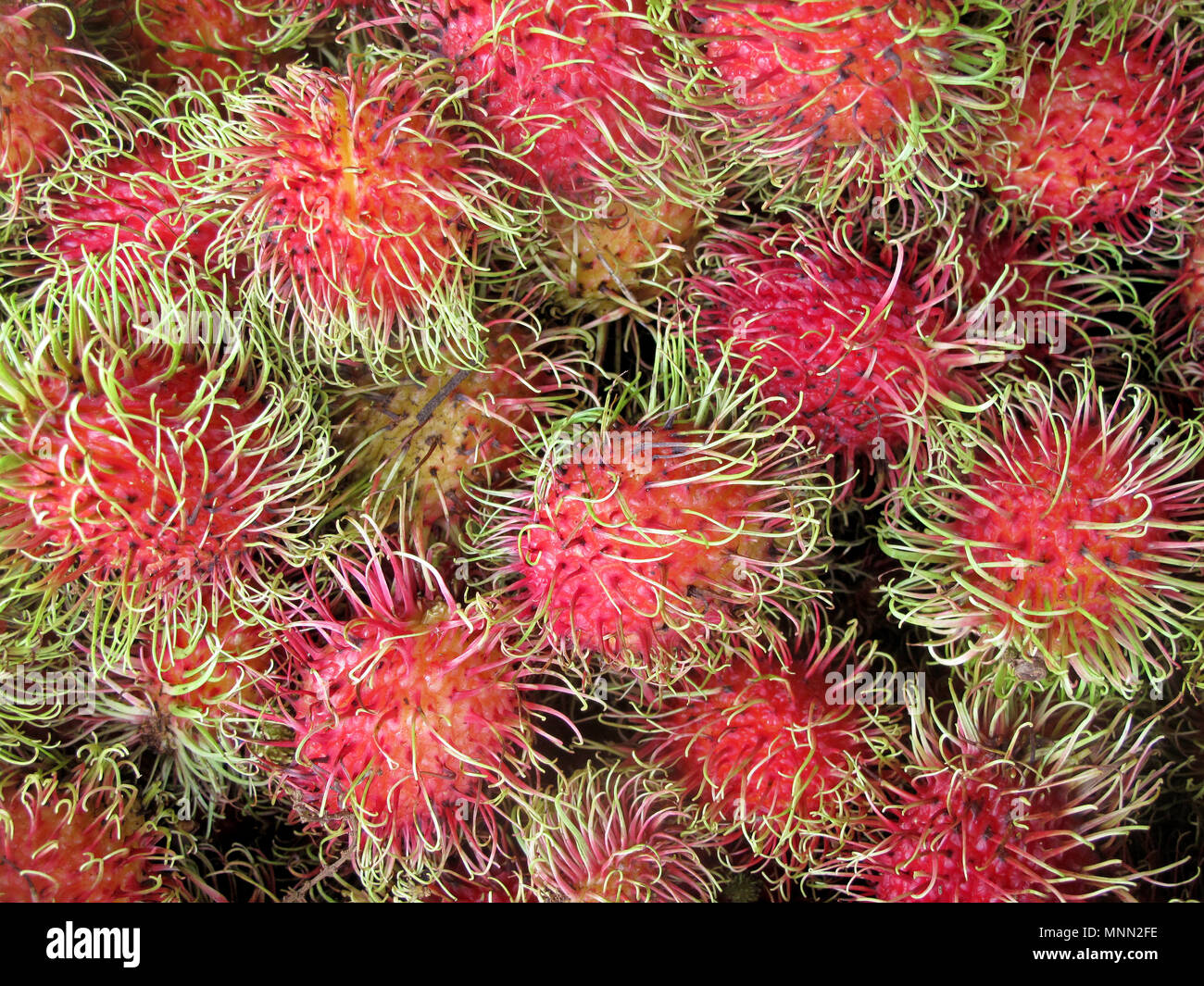 Rambutan, Nephelium Lappaceum, the lychee like fruit with long hooked spines, Costa Rica, Central America - Stock Image