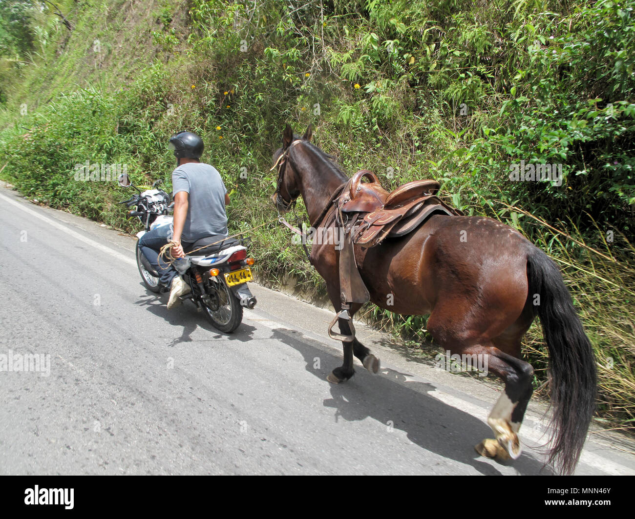 Local man towing a horse with his moped, Colombia - Stock Image