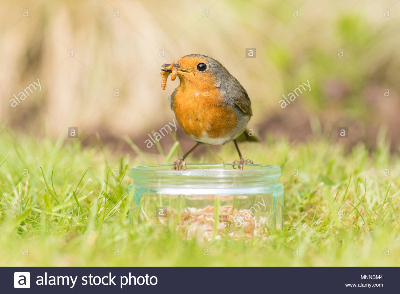robin - erithacus rubecula - collecting mealworms from a dish - Stock Image