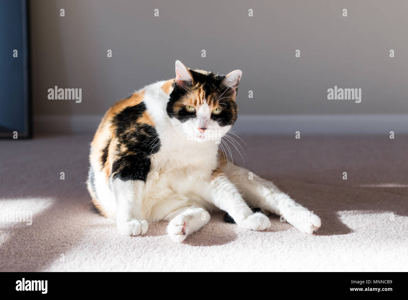 Closeup of calico cat on living room bedroom room carpet floor grooming distracted with soft sunlight, looking angry - Stock Image