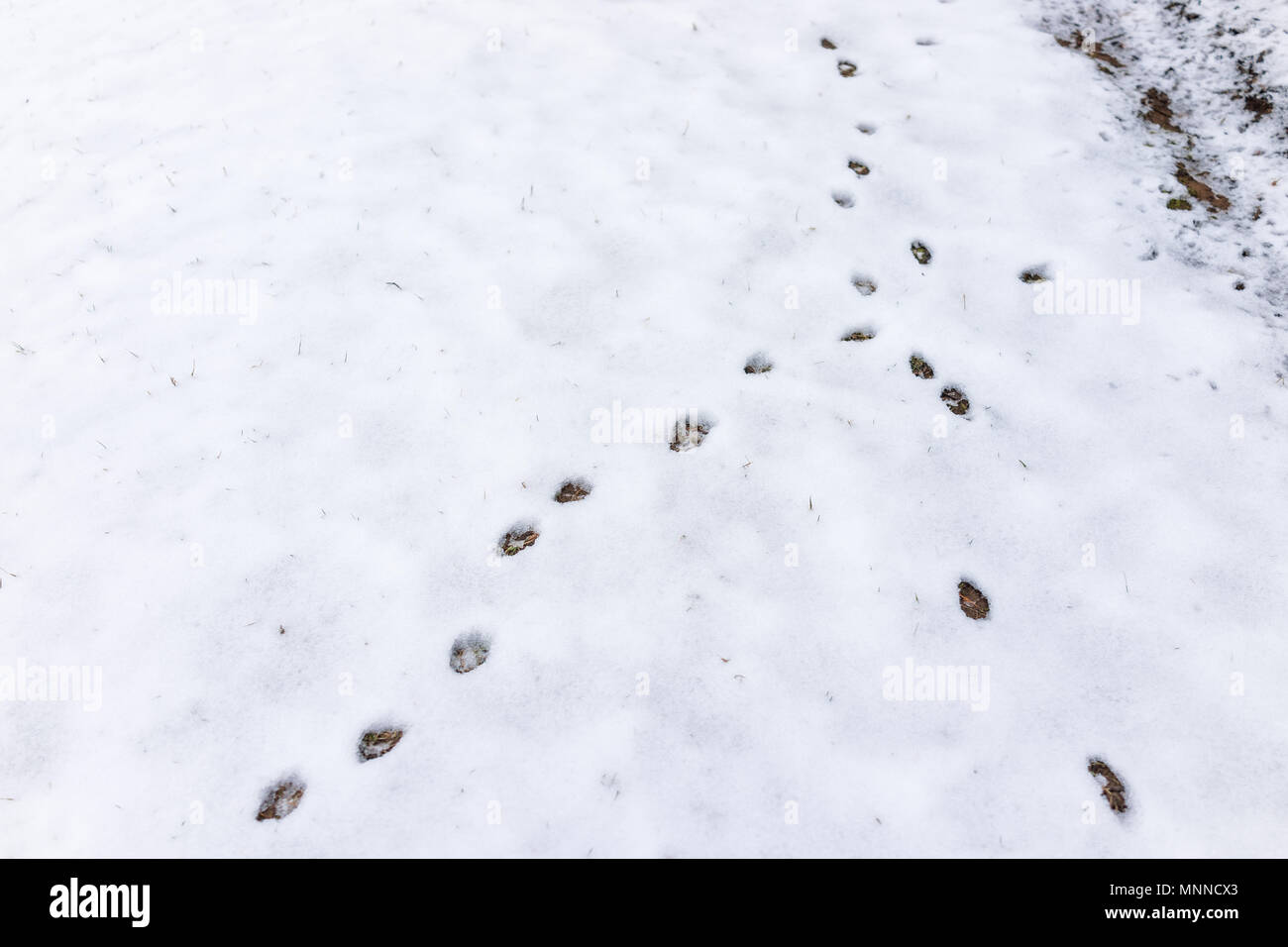 Closeup of fox tracks in backyard of house on snow covered ground after blizzard white storm in Virginia suburb - Stock Image