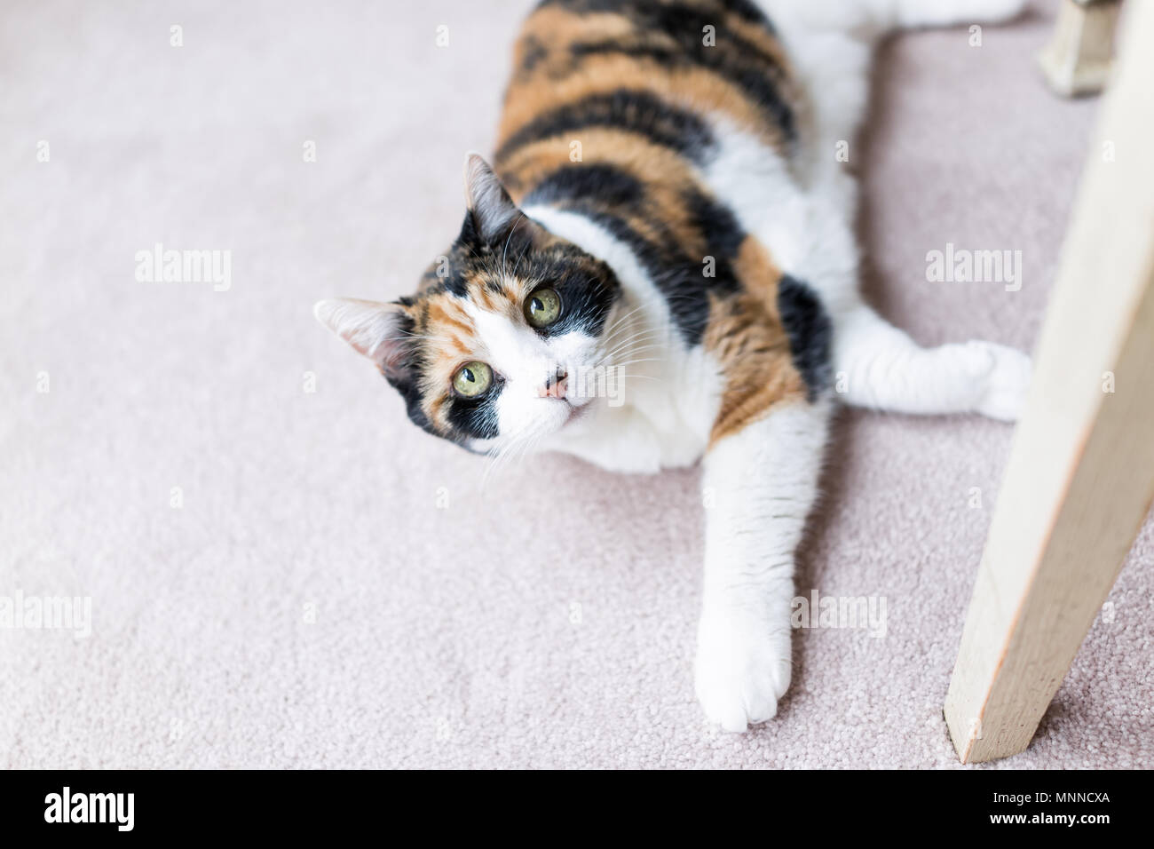 7eccd283a12 Calico cat looking up lying on carpet adorable cute big eyes under table