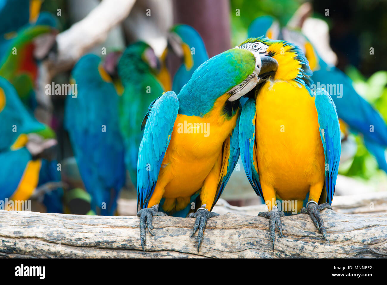 A pair of blue-and-yellow macaws perching at wood branch in jungle. Colorful macaw birds in forest. - Stock Image