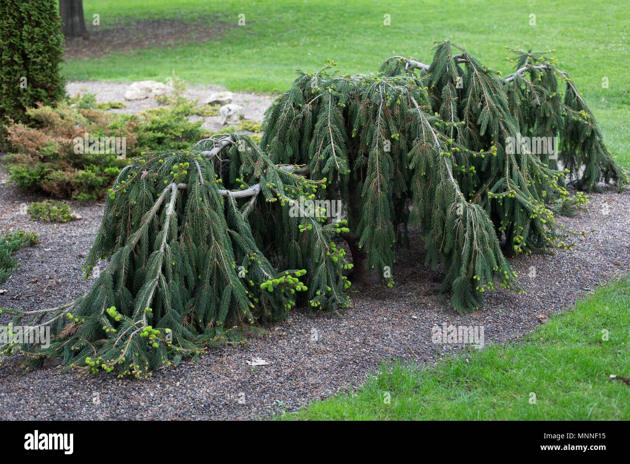 Weeping evergreen trees at Lyndale Park in Minneapolis, Minnesota, USA. - Stock Image