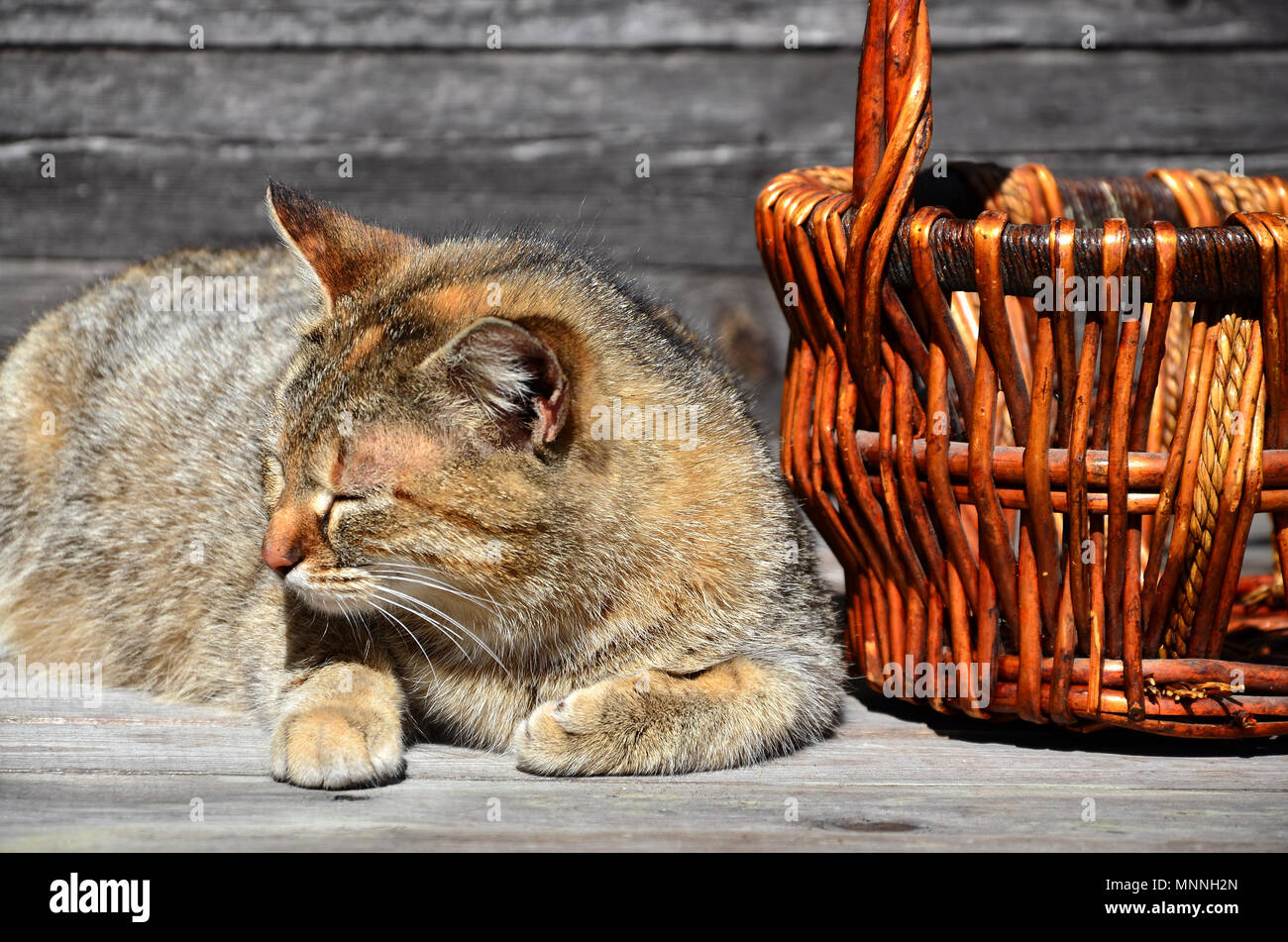 A multi-colored thick cat is located next to an empty wicker basket of wooden rods lies on a wooden surface against the background of a wall of black  Stock Photo