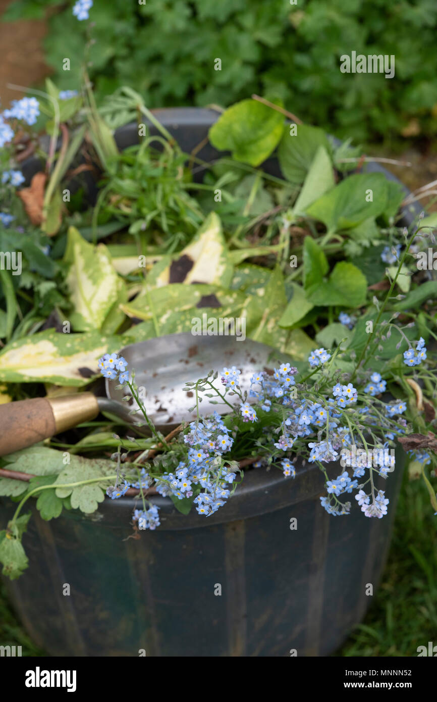 Clearing dead plants and weeds from the garden in a bucket with a hand trowel. UK - Stock Image
