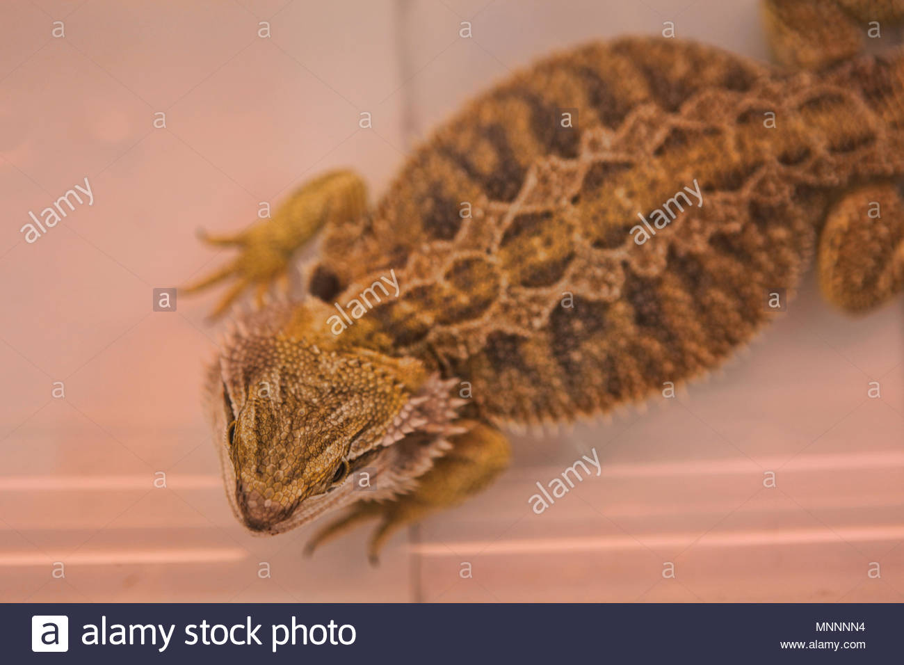 Bearded Dragon Photo Stock Photos & Bearded Dragon Photo