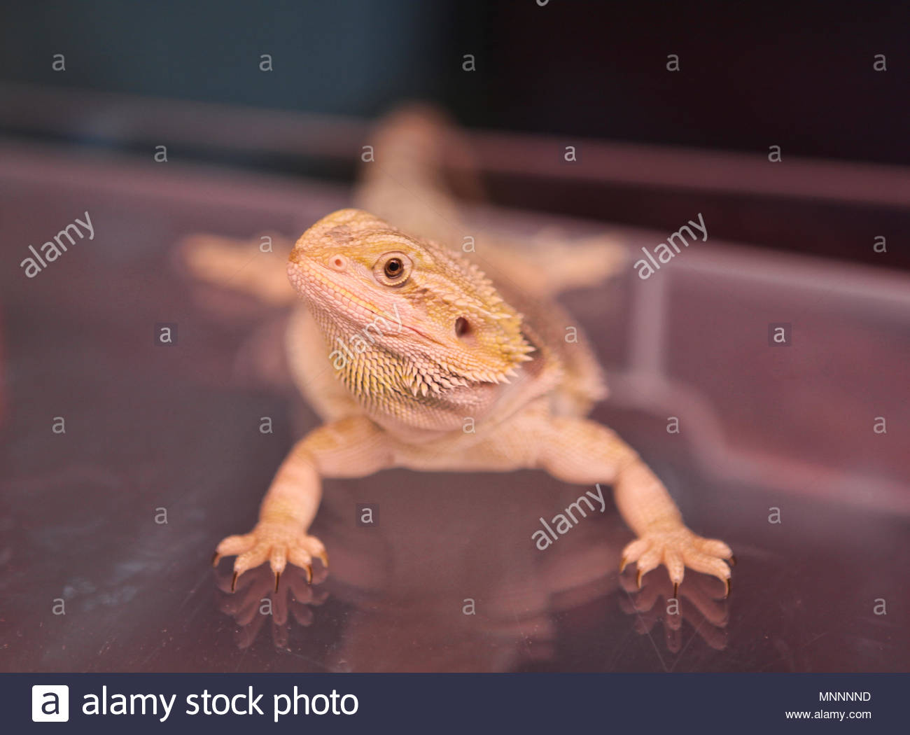 A exotic hypo-tangerine bearded dragon (Pogona) displayed at