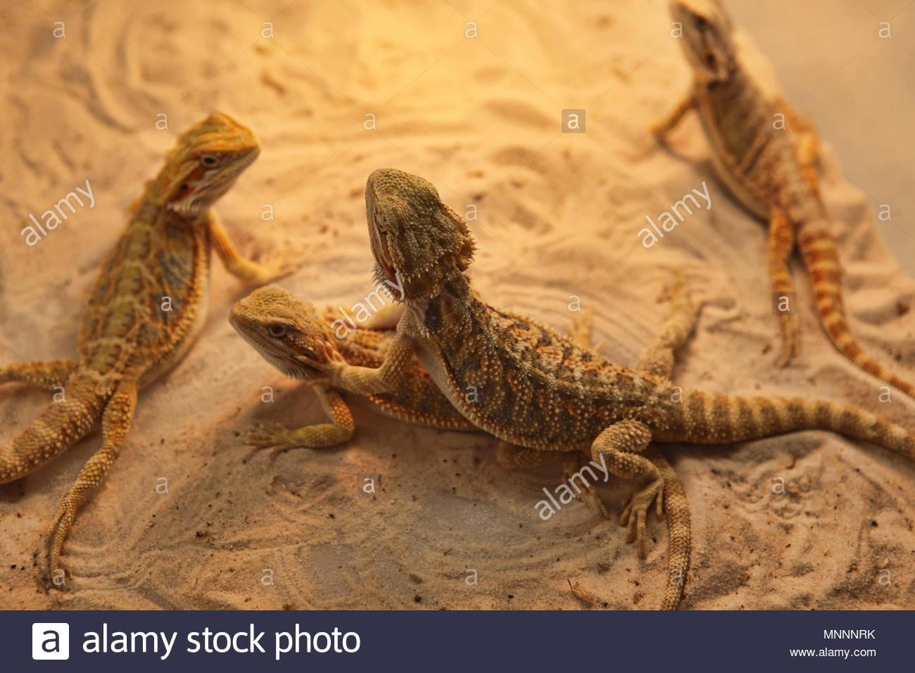Exotic hypo-tangerine bearded dragons (Pogona) displayed at