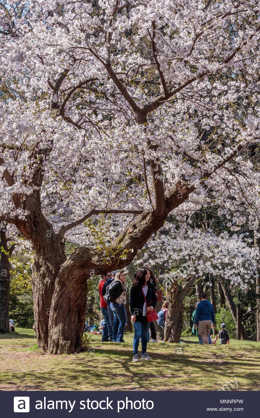 5 Yoshino Cherry Tree Seeds Flowering Japanse Ornimental Garden Pink Seed 660 Ebay